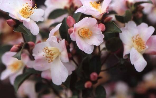 Février : Camélias à petites fleurs, élégances champêtres