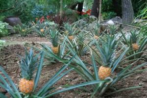 Exceptionnelle plantation d'ananas « Erven et Louis ».