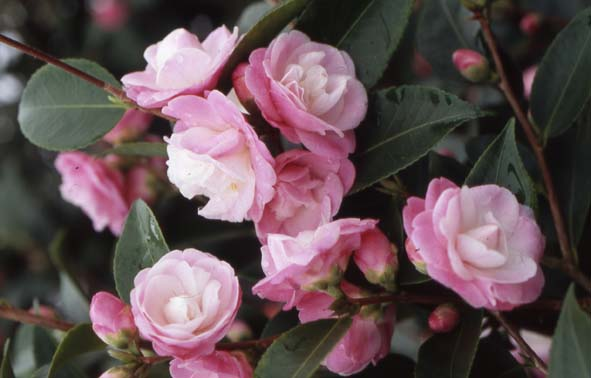 1291039535_orig_Camellia_SWEET_JANE