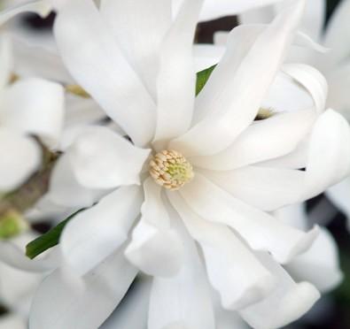 Mars : Farandole de fleurs blanches : Azalées, camellia, magnolias, prunus…