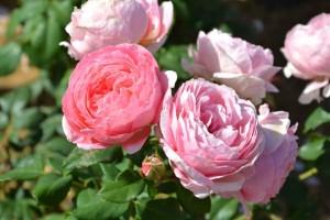 Rose Anne-Sophie Pic