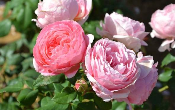 Anne-Sophie Pic a sa rose
