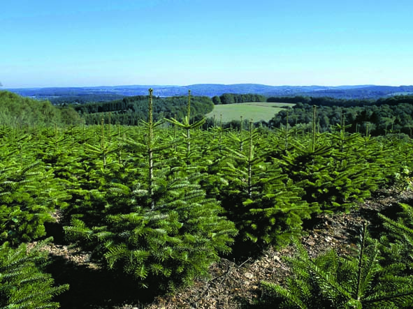 En pot : ce conditionnement  indique que les sapins ont été bêchés puis mis dans un pot avec leurs racines et leur motte de terre. Ces sapins peuvent éventuellement être replantés dans un jardin. © AFSNN